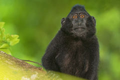 Schwarzer Makakenaffe mit Haube beim Betrachten Sie im Wald Stockfoto