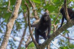 Schwarzer Makakenaffe mit Haube beim Betrachten Sie im Wald Lizenzfreies Stockfoto