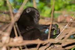 Schwarzer Makakenaffe mit Haube beim Betrachten Sie im Wald Lizenzfreie Stockbilder