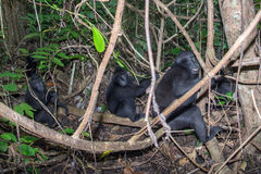 Schwarzer Makakenaffe mit Haube im Wald Lizenzfreies Stockbild