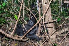 Schwarzer Makakenaffe mit Haube im Wald Stockbild