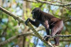Schwarzer Makakenaffe mit Haube im Wald Lizenzfreie Stockfotografie