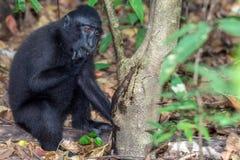 Schwarzer Makakenaffe mit Haube im Wald Stockfoto