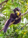 Schwarzer Maki, der Mango isst Stockfotos