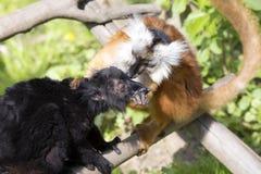 Schwarzer Maki, Eulemur m macaco, gegenseitige Haarpflege Lizenzfreie Stockfotografie