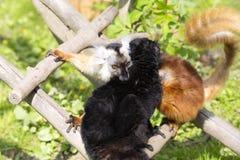 Schwarzer Maki, Eulemur m macaco, gegenseitige Haarpflege Lizenzfreies Stockbild
