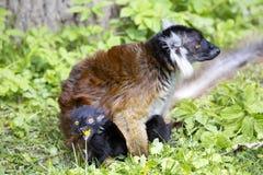 Schwarzer Maki, Eulemur m macaco, weiblich mit Jungen Lizenzfreies Stockfoto
