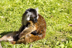 Schwarzer Maki, Eulemur m macaco, weiblich mit Jungen Stockfotos