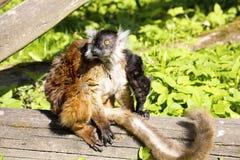 Schwarzer Maki, Eulemur m macaco, weiblich mit Jungen Lizenzfreie Stockbilder