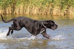Schwarzer Mastiff stockfotos