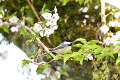 Schwarzer mit einer Kappe bedeckter Chickadee in der Kirschblüte stockbilder
