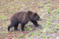 Schwarzer Nationalpark Bär-Yellowstone Stockbilder