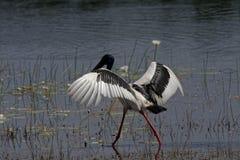 Schwarzer Necked Storch mit den Flügeln ausgestreckt lizenzfreie stockfotos