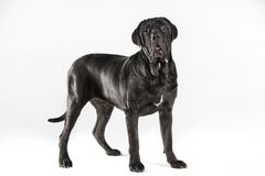 Schwarzer neopolitan Mastiff im Studio lizenzfreie stockfotos