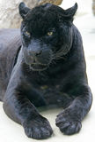 Schwarzer Panther 1 Lizenzfreies Stockbild