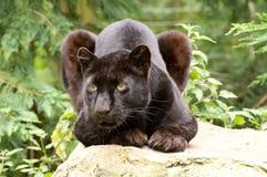 Schwarzer Panther Stockfotos