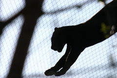 Schwarzer Panther Lizenzfreies Stockbild