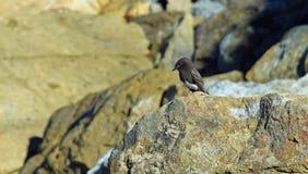Schwarzer Phoebe auf einem Felsen am Salz-Nebenfluss-Strand-Park in Dana Point, Kalifornien Stockfotos