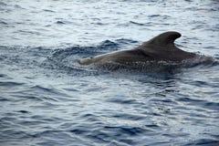 Schwarzer Pilot Whale Coming Out des Wassers Lizenzfreies Stockfoto