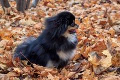 Schwarzer pomeranian Welpe sitzt auf dem Herbstlaub Lizenzfreie Stockfotografie