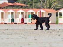 Schwarzer Pudelhund, der Frisbee auf dem Strand spielt stockfotografie