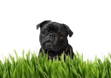 Schwarzer Pug hinter Gras Lizenzfreies Stockbild