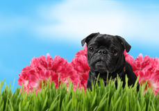 Schwarzer Pug mit bunter Frühlingsnatur Lizenzfreies Stockbild