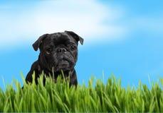 Schwarzer Pug mit Natur Stockbild