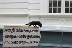 Schwarzer Rabe auf Colombo-Nationalmuseum in Sri Lanka Stockbild