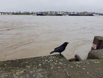 Schwarzer Rabe auf dem Steindamm des Flusses Rhein Lizenzfreie Stockfotografie