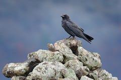 Schwarzer Rabe, der auf dem Stein sitzt Elche entsteinen mit schwarzem Vogel Schwarzer Vogel im Naturlebensraum Rabe auf dem Fels lizenzfreies stockbild