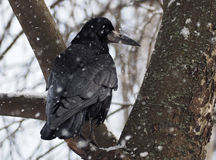 Schwarzer Rabe, der am Baum an den Schneefällen sitzt Stockbilder