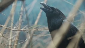 Schwarzer Rabe mit dem offenen Schnabel, der unter Niederlassungen des Baums sitzt Schwarzes Kr?heportrait stock footage