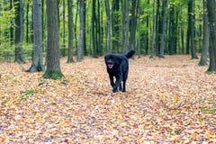 Schwarzer rauhaariger Neufundland-Hund, der durch Gelb läuft, verlässt in t lizenzfreies stockfoto