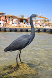 Schwarzer Reiher auf dem Strand in Sharm El Sheikh Lizenzfreies Stockfoto