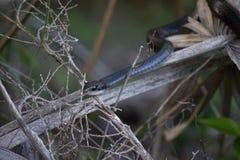 Schwarzer Rennläufer-Schlange, die ruhig auf Palmwedel-Stamm in Florida stillsteht stockfoto