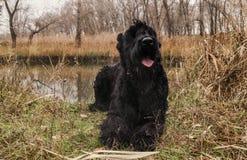 Schwarzer Riesenschnauzer, der auf der Bank von einem sumpfigen Fluss stillsteht stockfotos