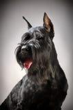 Schwarzer Riesenschnauzerhund Stockbild