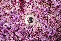 Schwarzer rosa Nasenkragencollie in den rosa Blumen stockfotografie