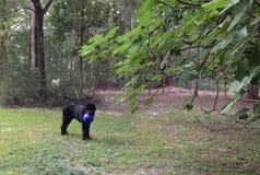 Schwarzer Russe Terrier mit einem blauen Ball Stockbilder