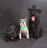 Schwarzer Russe Terrier u. Schnauzer Stockfoto