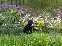 Schwarzer Russe-Terrier-Welpe in einem Frühlings-Garten Stockfotos