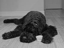 Schwarzer russischer Terrier stockbild