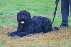 Schwarzer russischer Terrier Lizenzfreie Stockbilder