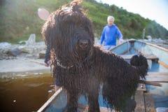 Schwarzer russischer Terrier stockfotos