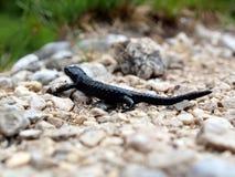Schwarzer Salamander auf Kieseln Stockbild