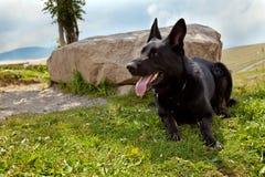 Schwarzer Schäferhund Stockfotos