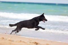 Schwarzer Schäferhund Stockfoto