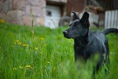 Schwarzer Schäferhund, der schlechte Nachbarn aufpasst Stockfoto