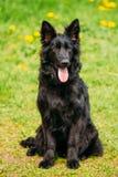 Schwarzer Schäferhund Dog Sit In Green Grass Elsässer Wolf Dog Lizenzfreie Stockfotos